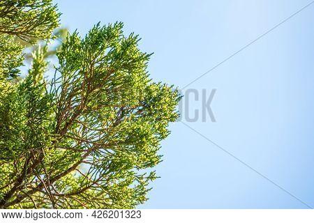 Green Leaves Of A Juniper Tree Evergreen