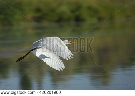 Egret Motion Blur Smooth Background.  This Egret Was Caught In Motion Flying Over A Pond.