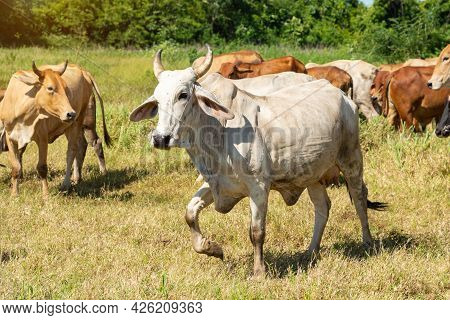 A Cow Running In A Meadow Field,  Body Portrait Of A Cow On Pasture In Motion