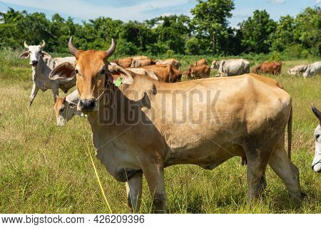 Cow On A Green Meadow Pasture For Cattle, Cow In The Countryside Outdoors, Cows Graze On A Green Sum