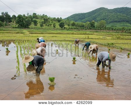 Workers In Rice Paddy
