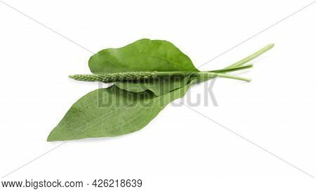 Green Broadleaf Plantain Leaves And Seeds On White Background