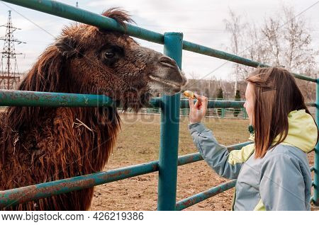 A Girl Feeds Apples From A Brown Bactrian Camel. The Animal Is On The Farm At The Zoo. Camelus Bactr