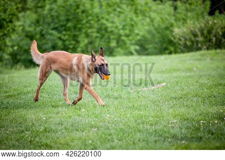 Malinois Belgian Shepherd Dog Running In A Park And Playing To Fetch A Ball, In A Dog Game Called Fe