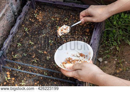Person Feeding Crushed Egg Shell As Natural Organic Fertilizer To Baby Vegetable In Garden