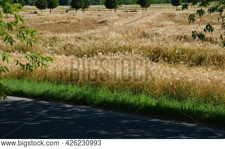 Oats, Barley Is Ripe And Yellow, Strong Storms Caused The Stalks To Lie On The Ground. The Harvester