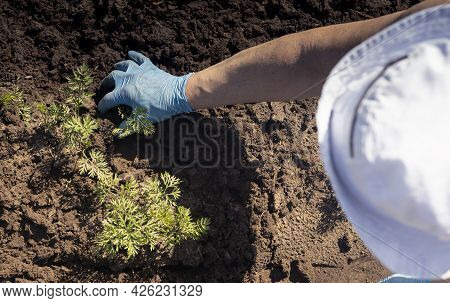 Overhead Of Farmer In Hat Working The Ground And Removing Weeds With Hand In Glove. Organic Farming