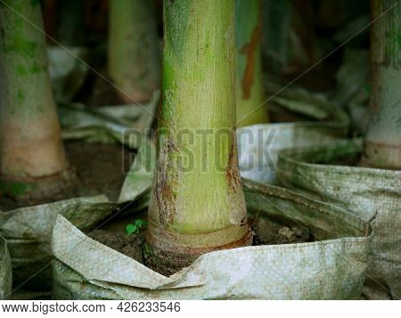 Commercial Packaging Of Coconut Tree Roots, Multiple Plants Background
