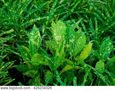 Beautiful Green Leaves With Yellowish Color Shade On Natural Background.