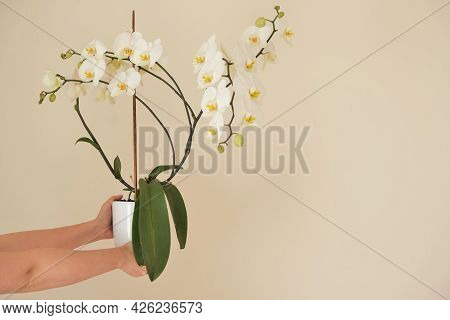 White Orchid Flower.white Phalaenopsis Flowers. Orchid Flower In A White Pot In Hands On A Light Bei