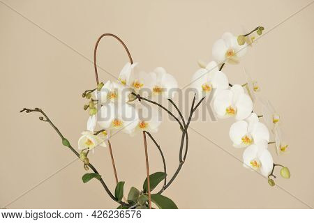 Orchid Flower.white Phalaenopsis Flowers. Orchid Flower In A White Pot In Female Hands On A Light Be