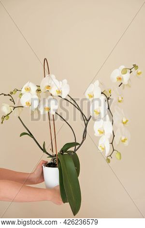 White Orchid Flower.white Phalaenopsis Flowers. Orchid Flower In A White Pot In Female Hands On A Be