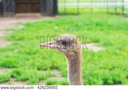 Portrait Of An Ostrich With Big Eyes Pink Beak Against Blurred Green Background. Big Bird On The Far