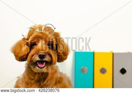 An Adorable Smiling Brown Toy Poodle Dog With Spectacles On His Head With Working File In Background