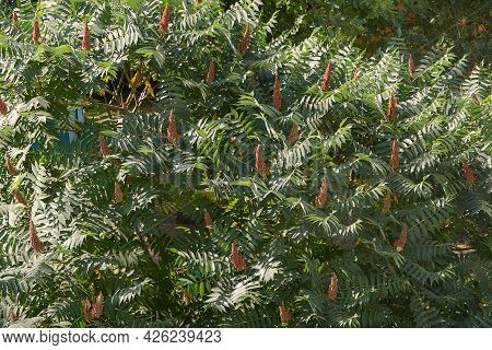 Rhus Typhina Is Sumach Tree With Velvet Candle-shaped Flowers. Selective Focus.