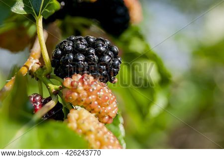 Mulberry Berries On The Branches. The Berries Of The Mulberry Tree. The Berries Look Like Scary. Sum