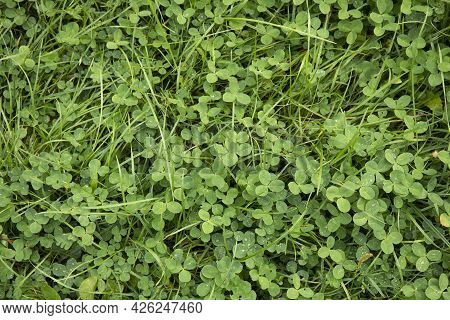 Green Grass And Clover Plant Lawn Background