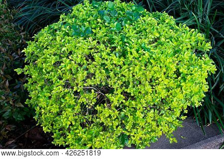 Stock Photo Evergreen And Common Plant Buxus Plant Or Boxwood Round Box Tree Ball In The Garden Area