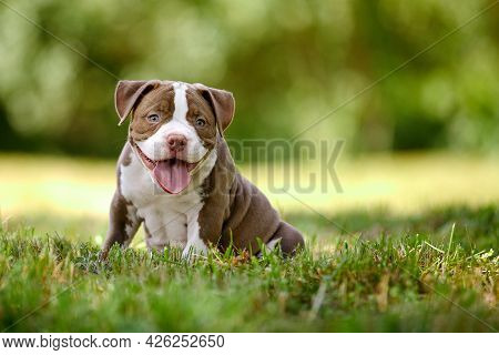 Close-up Of An American Bully Puppy, A Small Puppy Frolics And Runs In The Sun Among The Grass, A Ve