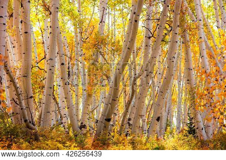 Back lit Aspen trees in rural Colorado during autumn time.