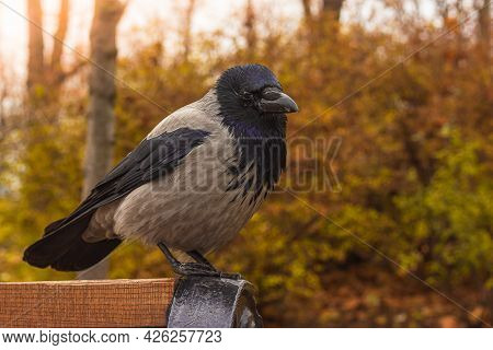 A Large Gray Crow With A Black Beak Sits On A Bench In The Park Against A Blurred Background Of Yell