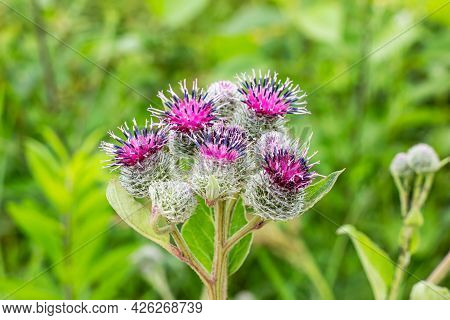 Green Leaves And Purple Flowers Of A Wild Greater Burdock (arctium Lappa) In Summer In The Meadow.