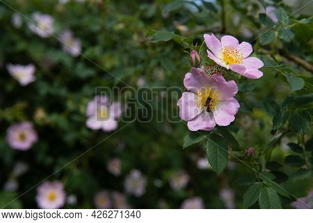 The Honey Bee Sits On The Pink Rosa, Pollinates It And Collects Nectar. Beautiful Nature Summer Back