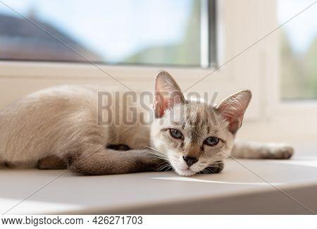 Tabby Little Kitten Lying On The Windowsill In Living Room. Color-point Cat Mekong Bobtail Breed. Do