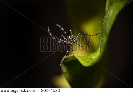 Aedes Aegypti Mosquito That Transmits Dengue In Brazil Perched On A Leaf, Macro Photography, Selecti