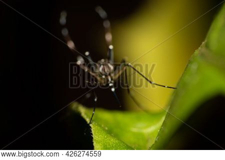 Silhouette Of The Mosquito Aedes Aegypti Totally Blurred That Transmits Dengue In Brazil Perched On