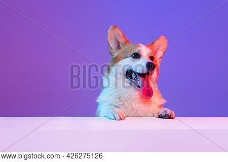One Little Funny Beautiful Corgi Dog With Sticked Out Tongue Isolated On Purple Studio Background In