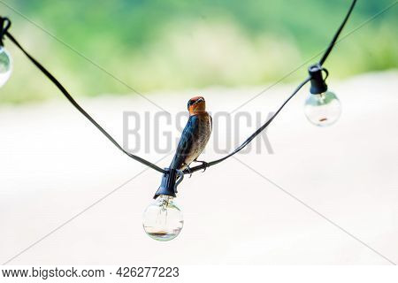 Pacific Swallow (hirundo Tahitica) Is A Small Passerine Bird ,perching On Electrical Wire