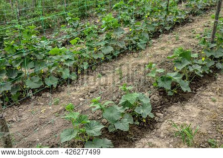 Fresh Organic Cucumbers Growing On Trellis.cucumbers Grow On A Bed.