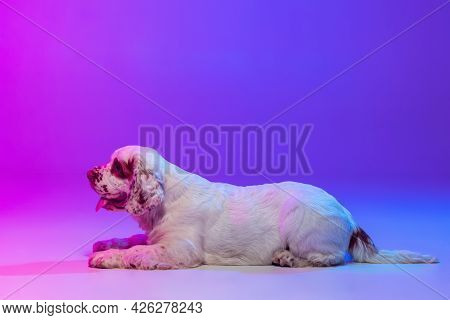 One Dog White Clumber Running Isolated Over Gradient Pink Blue Studio Background In Neon Light Filte