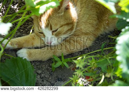 A Ginger Cat Hides From The Heat Under The Foliage Of A Strawberry Bush. The Cat Sleeps In The Shade