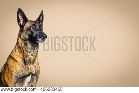 Head shot of a malinois dog against a brown pastel background