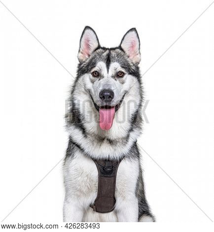 Head shot of a panting Alaskan Malamute wearing harness, isolated on white