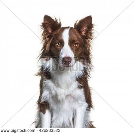 Head shot of a Brown and white Border collie isolated on white
