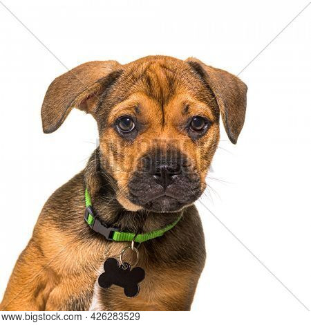 Head shot of an alert puppy crossbreed dog wearing a green collar and an empty identification tag, isolated