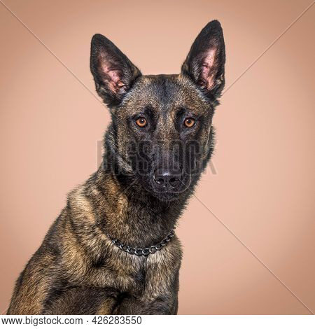 Head shot of a Malinois dog agaisnt a brown background