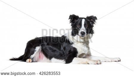 Black and white border collie lying down  looking at camera, isolated on white