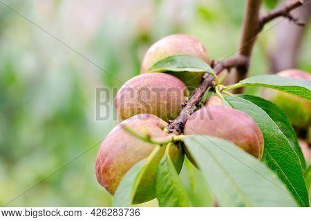 Peach Fruit Nectarine On A Tree Branch. Ripe Juicy Nectarine. Gardening Concept