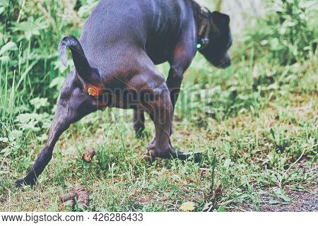 A Big Black Dog Poops In The Park Sitting Over The Grass And Spreading Its Paws
