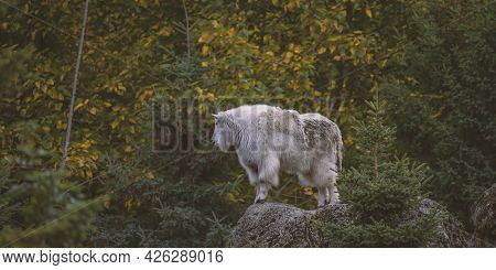 Mountain Goat High. Photographed In Wa State. Goat Stands On A Rocky Cliff Looking Away. Fall Colors