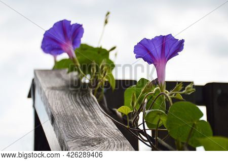 Close Up Of Winding Blue Morning Glory Flower Plant