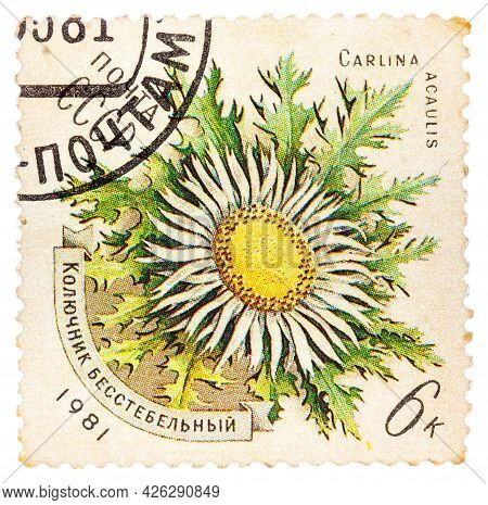 Ussr - Circa 1981: A Stamp Printed In Ussr Shows A Flower Carlina Acaulis, Series, Circa 1981