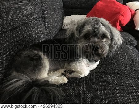 Cute Little Puppy In A Lying Position On The Home Sofa
