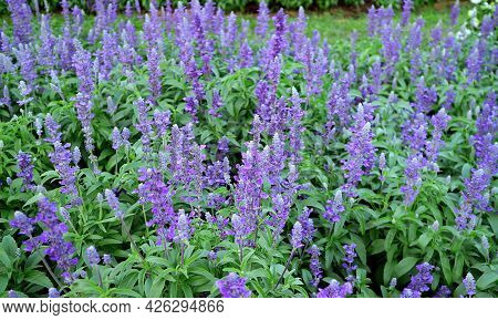 Beautiful Lavender Flowers Blooming In The Field