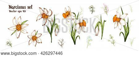 Narcissus Spring Set. Realistic, Hand-drawn  Realistic Elements, Modern Bouquets, Flowers Isolatated