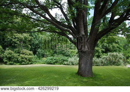 Lush Green Lawn Under A Large Tree. A Place To Rest. Nature And Greenery Around. The Tree Provides S